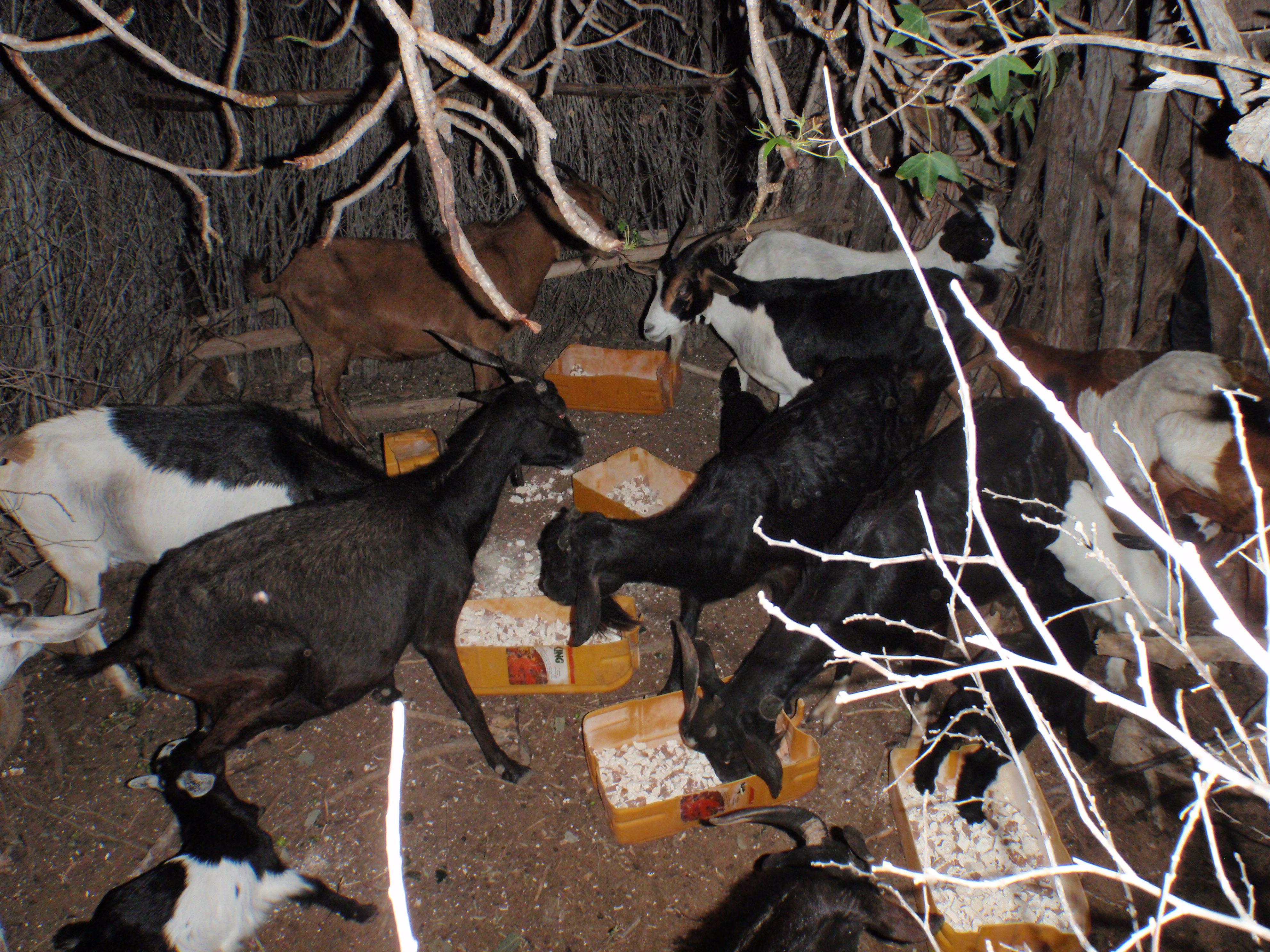 Chèvres prenant la ration quotidienne de manioc©J. Randriamalala