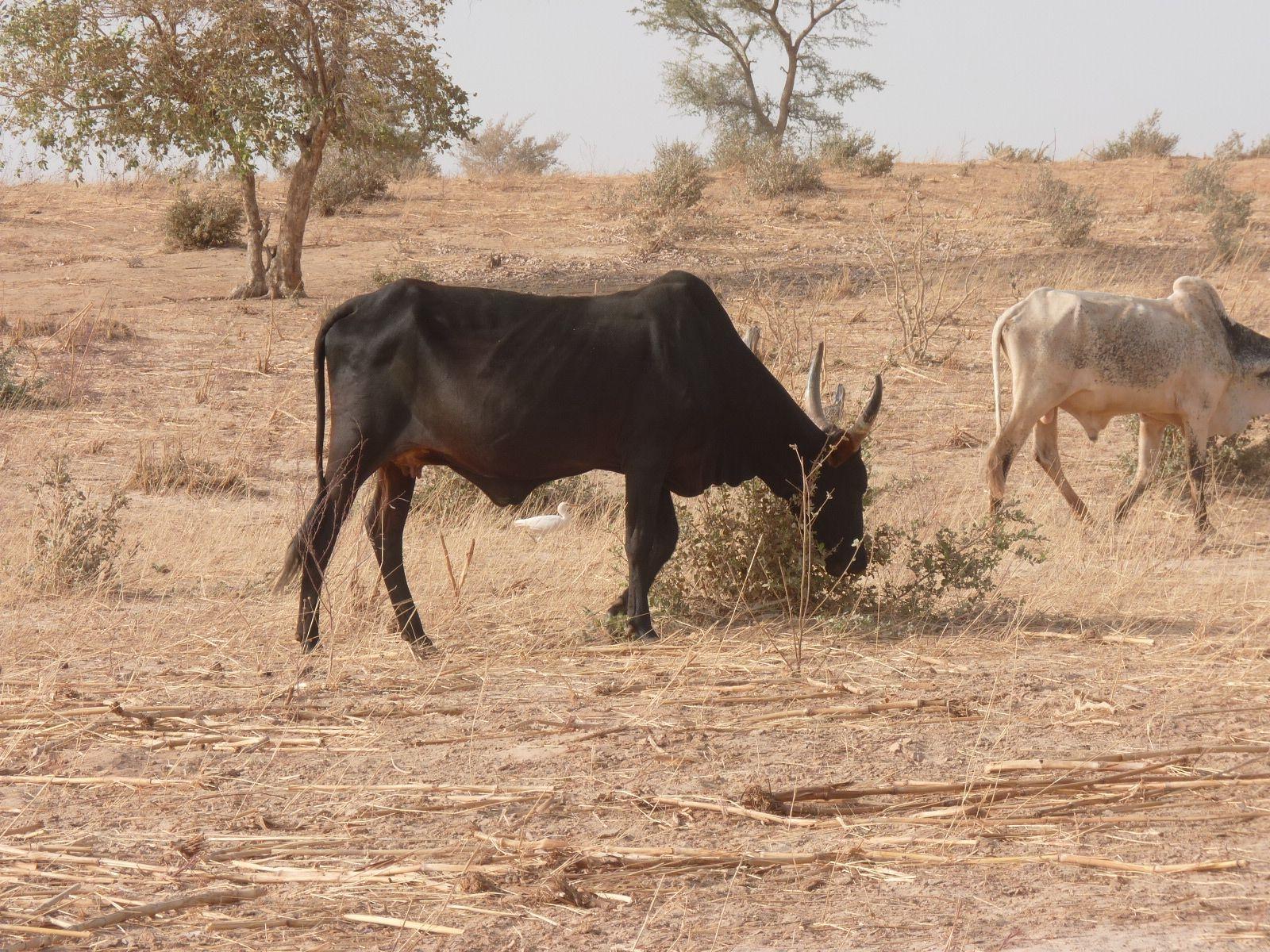 Vache broutant une touffe d'Andropogon©P. Hiernaux