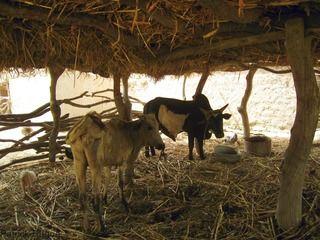 Vache Bos Taurus©P. Dugué, cirad